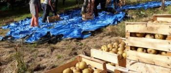 Cueillette et nettoyage des pommes Hendaye