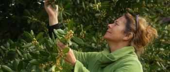 Sortie découverte des plantes sauvages, médicinales et comestibles Le Bugue